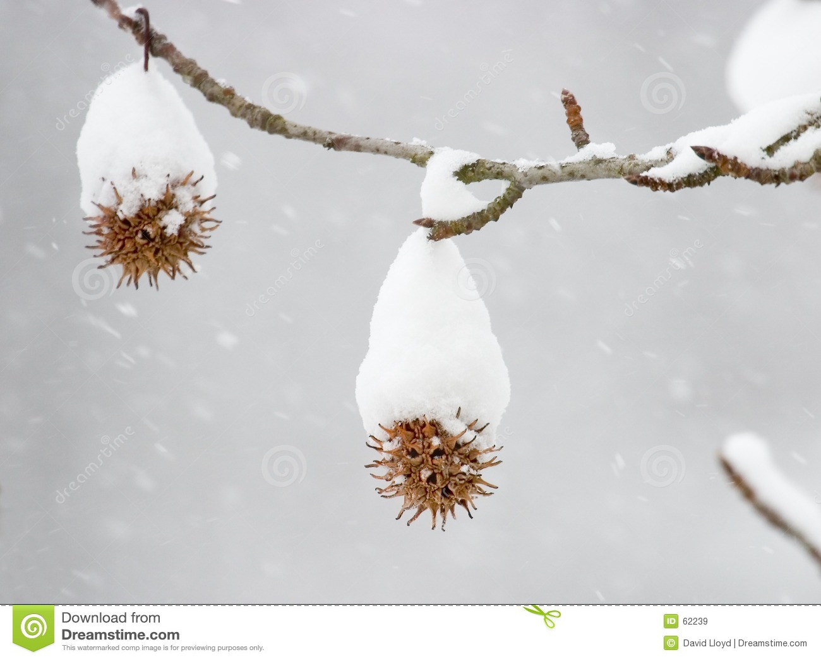 Download Sweetgum en hiver image stock. Image du hiver, noix, épine - 62239