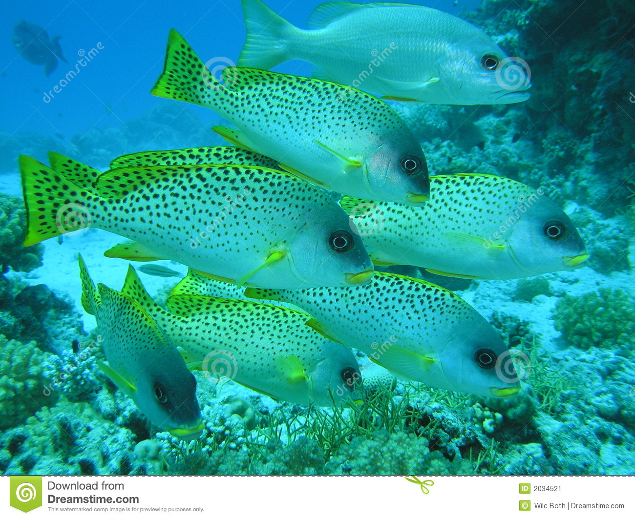 Sweetlips stock image image 2034521 for Sweet lips fish