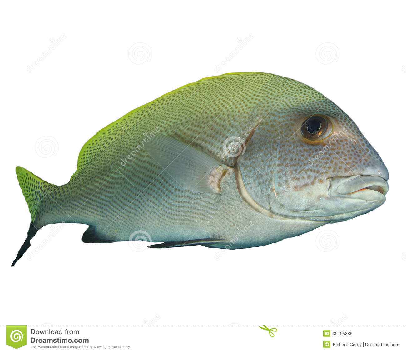 Sweetlips fish stock photo image 39795885 for Sweet lips fish
