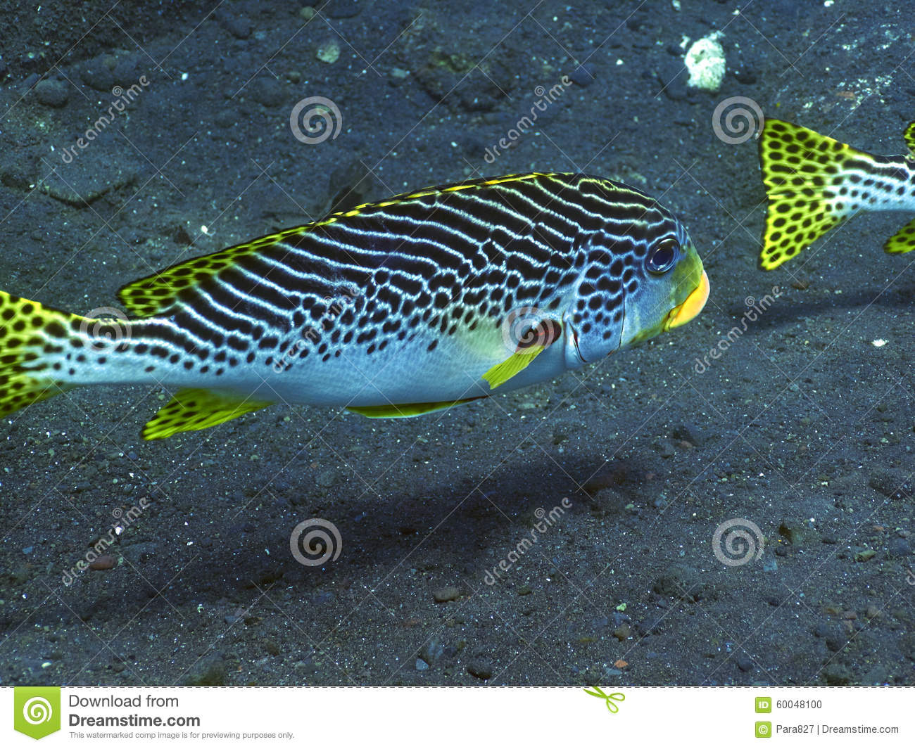 Sweetlips fish stock photo image 60048100 for Sweet lips fish