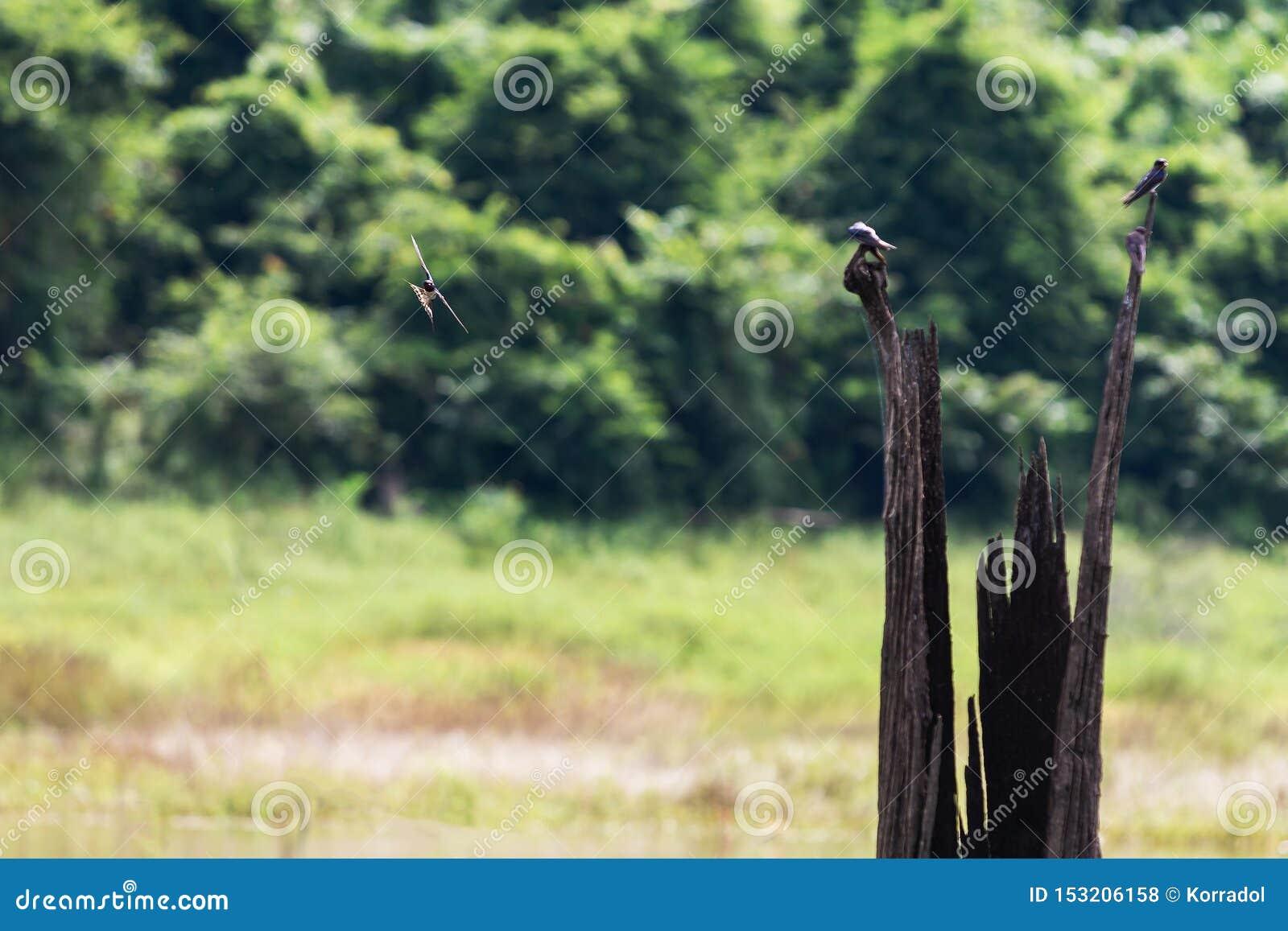Swiftlets-Vogelfliege über dem Wasser in Hala-Bala Wildlife Sanctuary nahe Knall Lang Reservoir in Yala