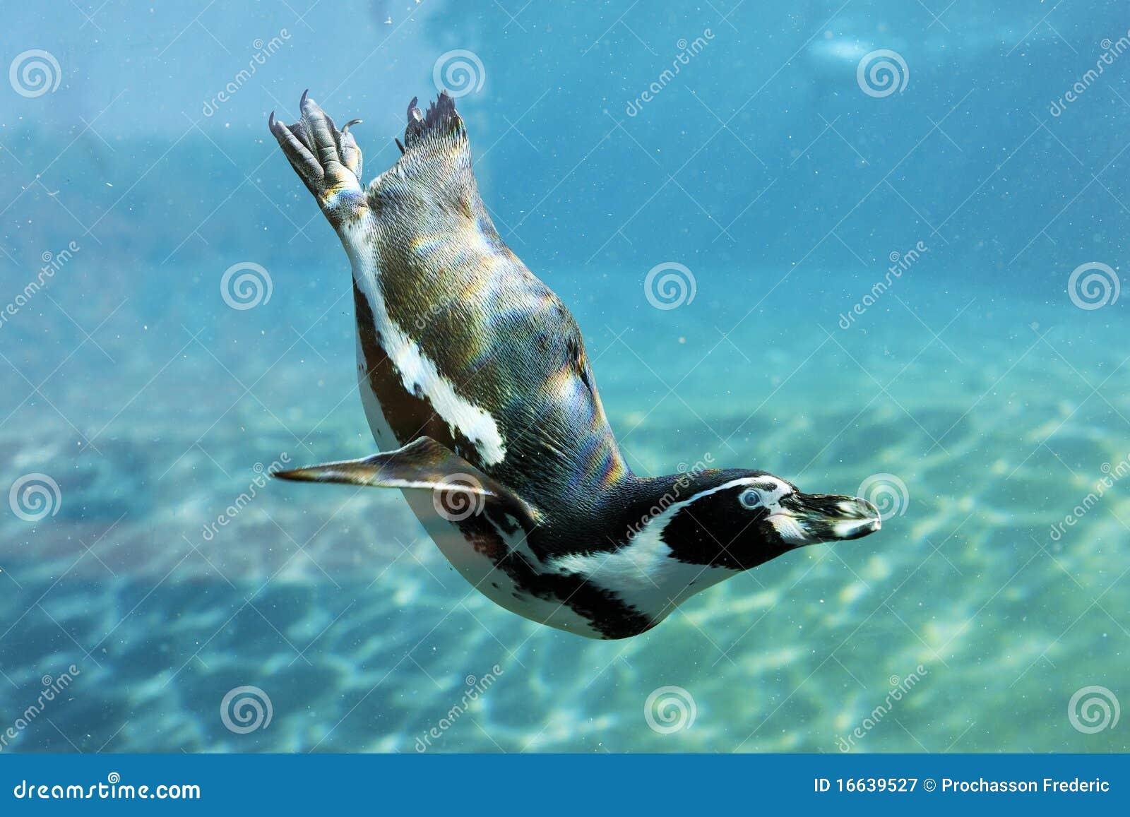 Swim auk