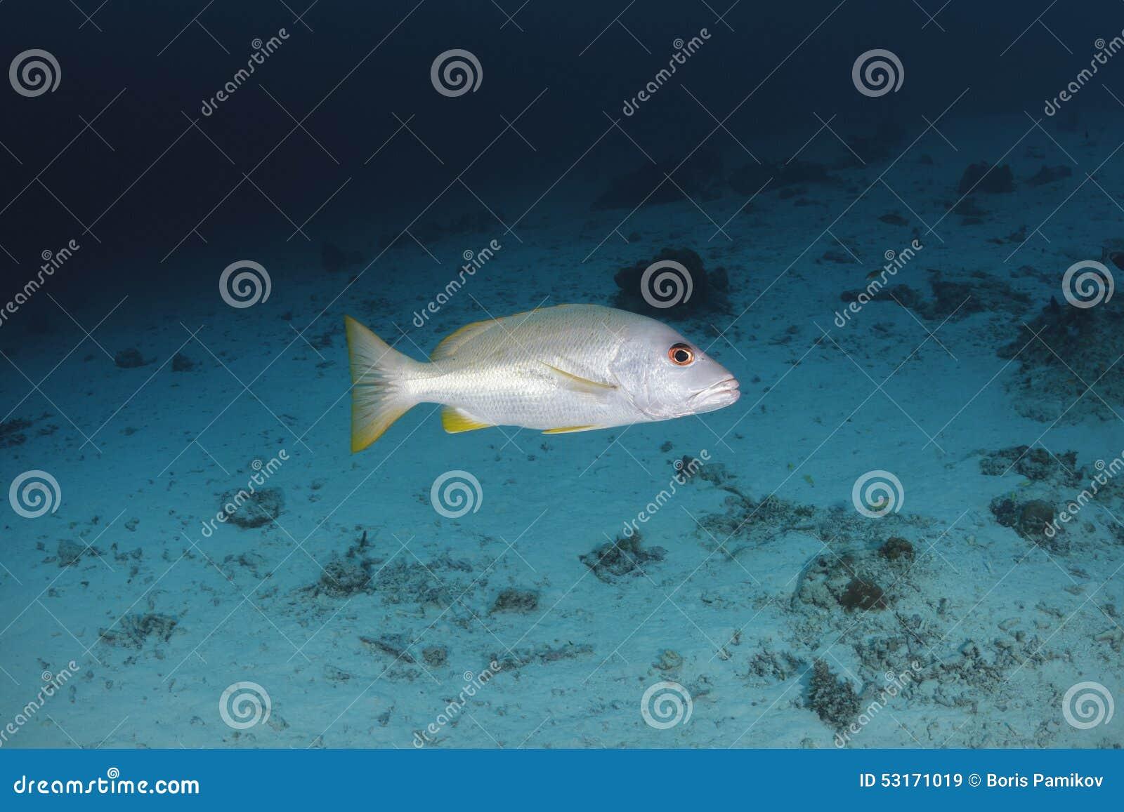 Swimm dello snapper di Onespot in acqua del mare delle Andamane, Tailandia