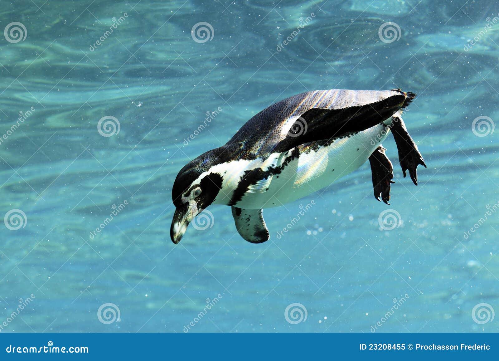 Swimming auk