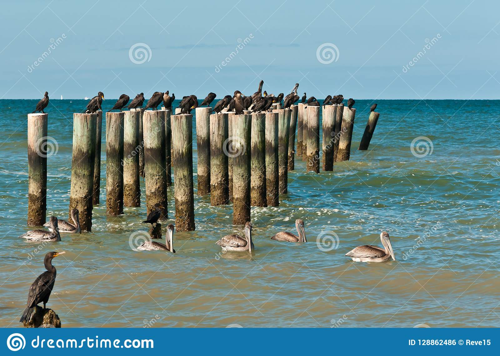 swimming brown pelicans and resting double-crested cormorants on wood pilings