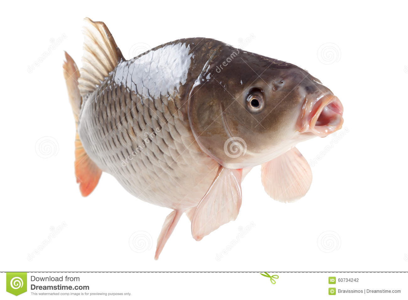 Swimming carp fish isolated on white background stock for Dream of fish swimming