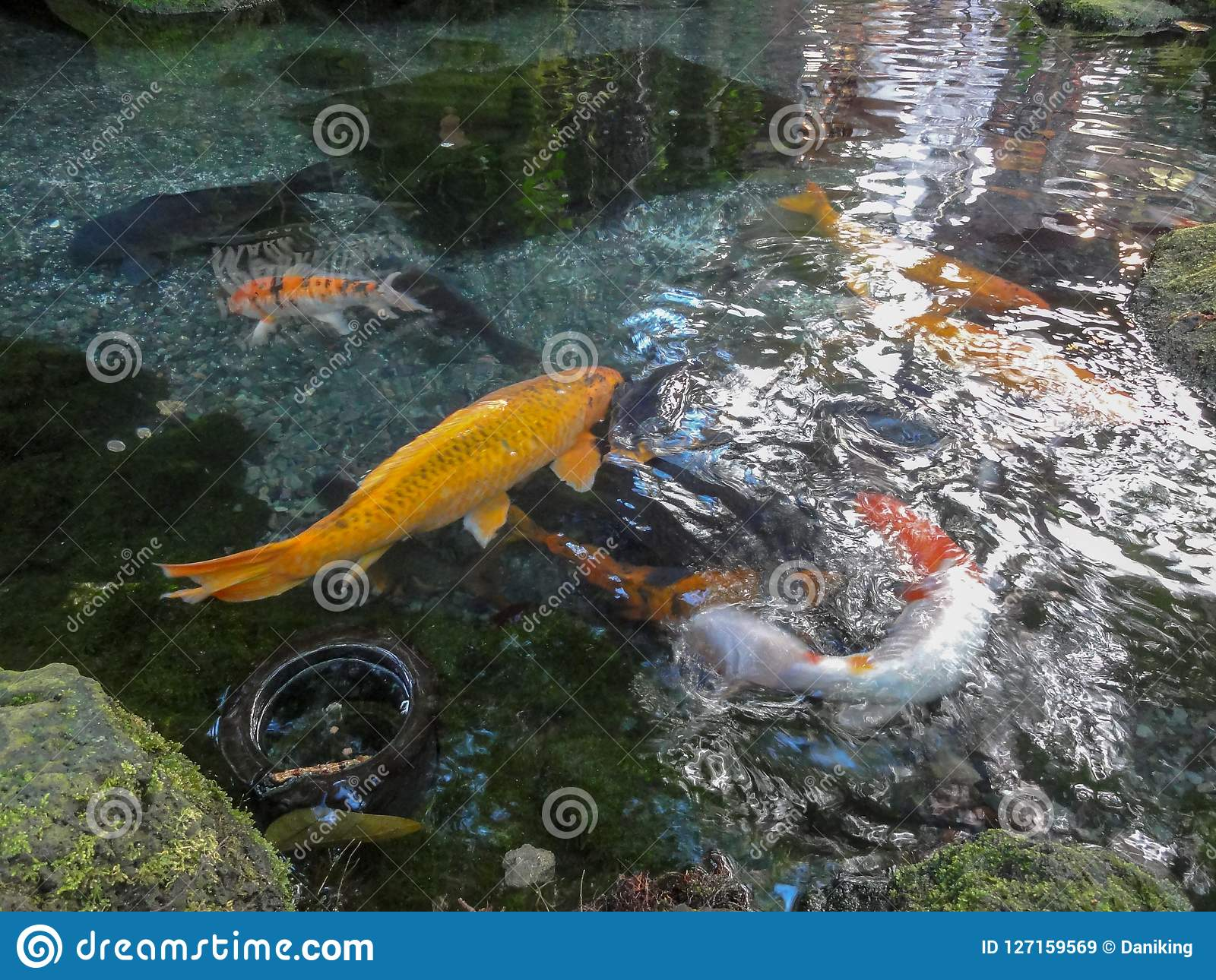 Swimming Coy in Pond
