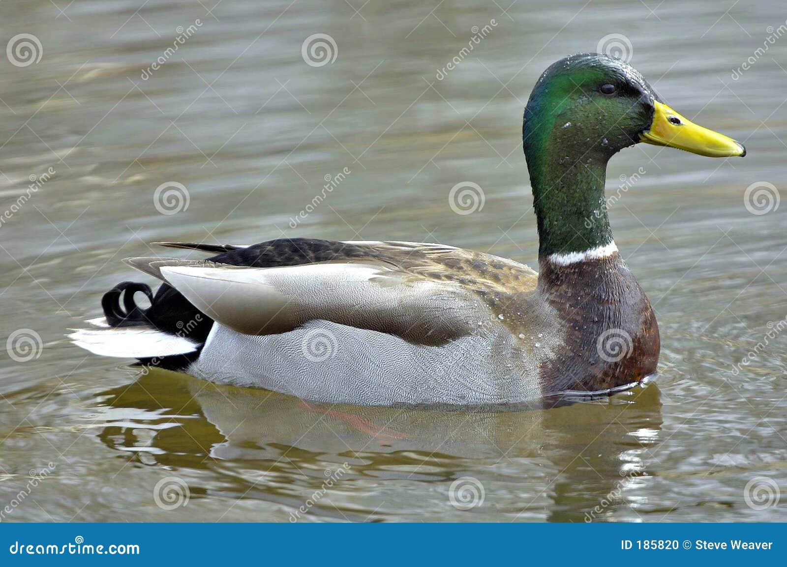 ducks swimming on the - photo #20