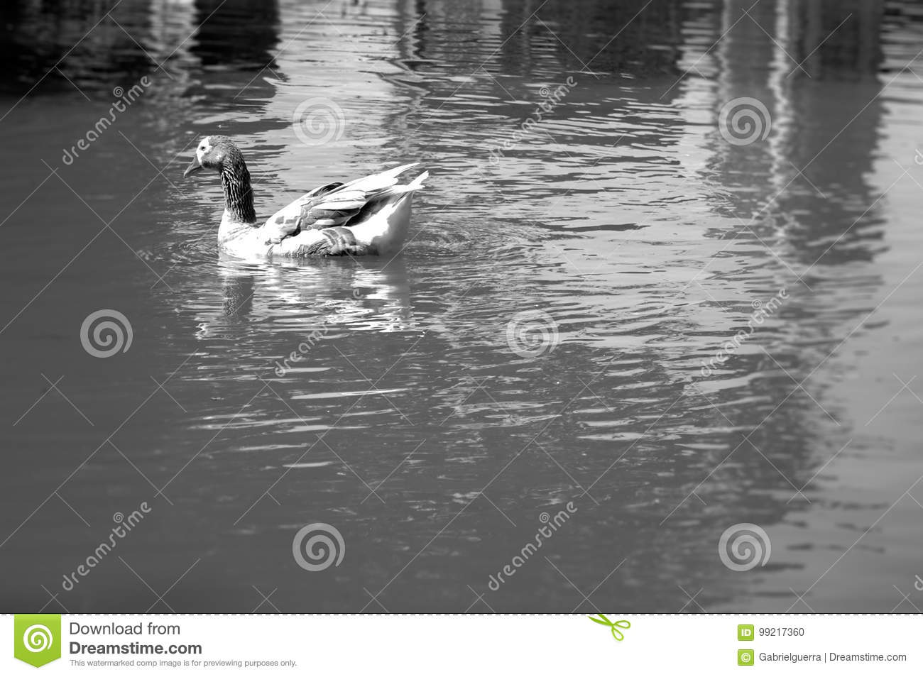 Swimming duck in a calm lake in black and white