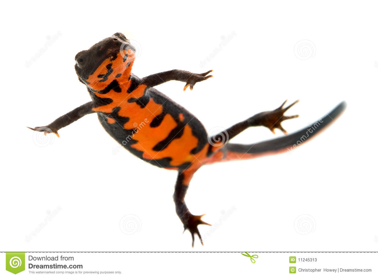 Swimming Fire Bellied Newt Stock Photos - Image: 11245313