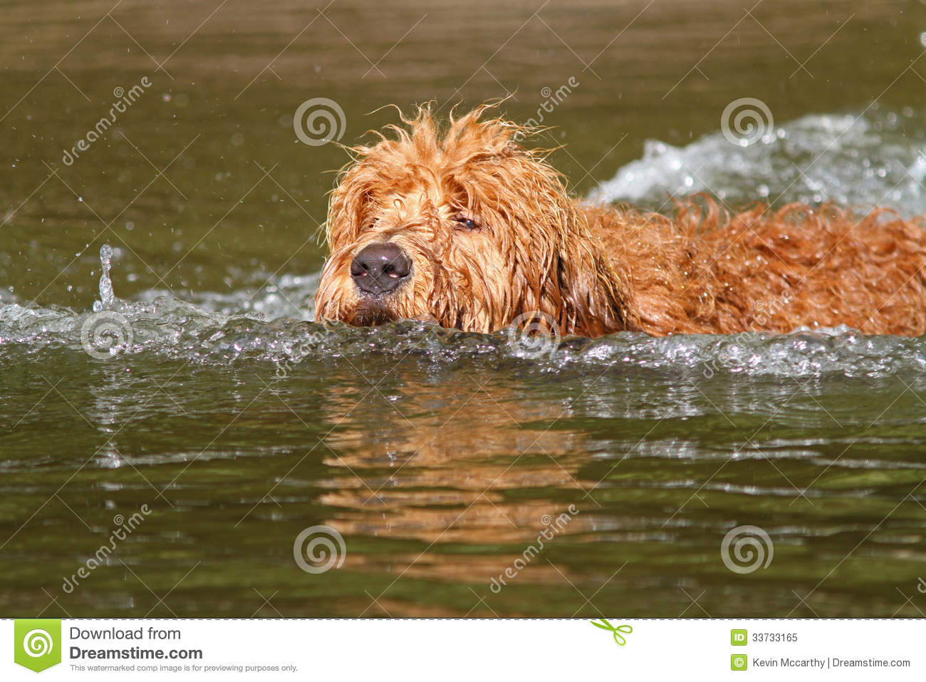 Swimming Goldendoodle Puppy