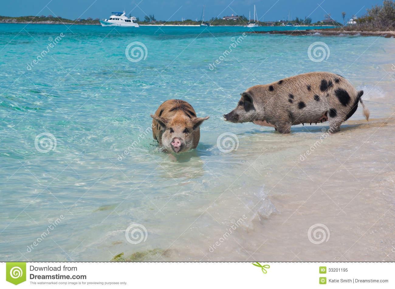 Wild pigs on Big Majors Island in The Bahamas, lounging and walking ...