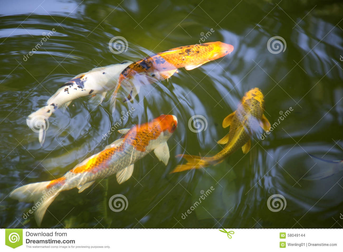 Swimming koi fish stock photo image 58049144 for Koi swimming