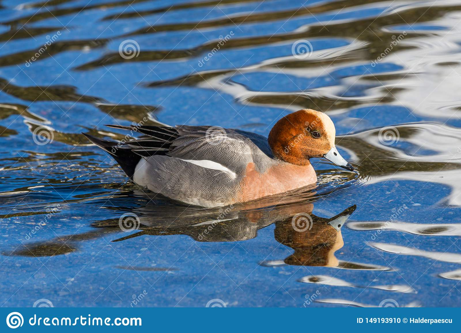 Swimming male wigeon anas penelope, reflections