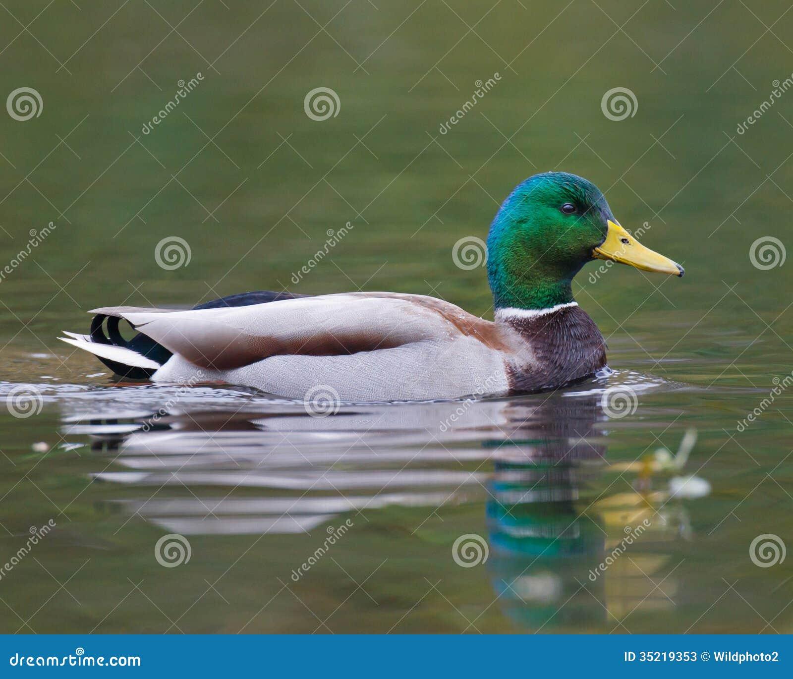 Swimming Mallard Duck Stock Photos - Image: 35219353