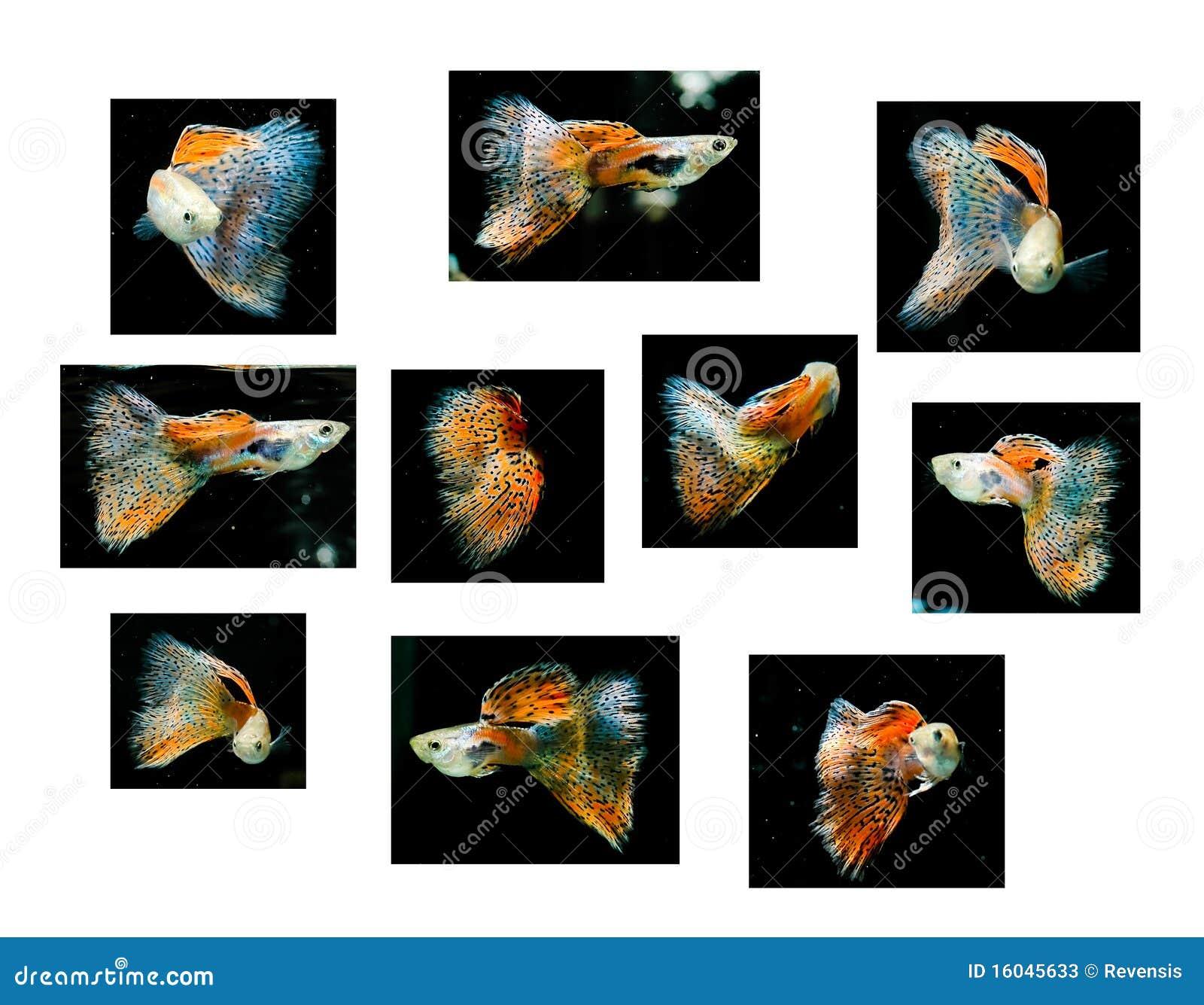 yellow guppy fish swimming on black stock photo image 39874704