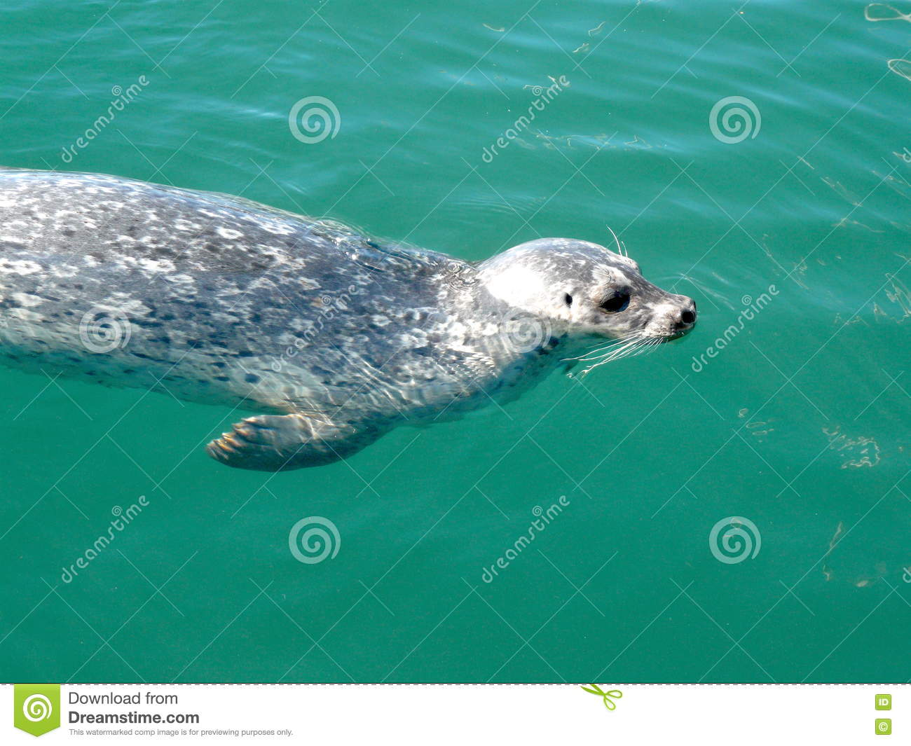 Swimming Seal on seal clip art, seal in the sea, seal animals, seal on land,