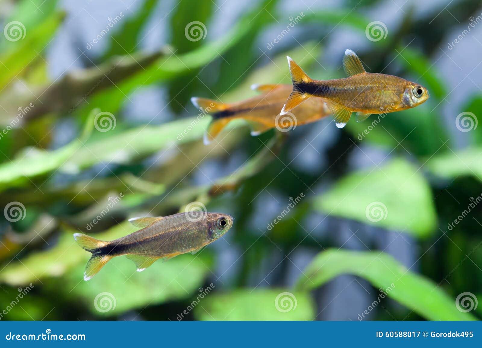 Swimming Silver Tipped Tetra Fishes. Gold, Orange Colorful Aquarium ...