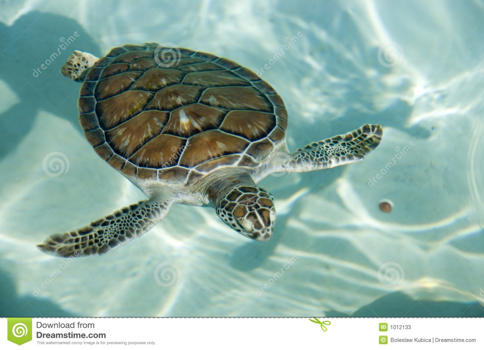 Swimming Tortoise Stock Photos Image 1012133
