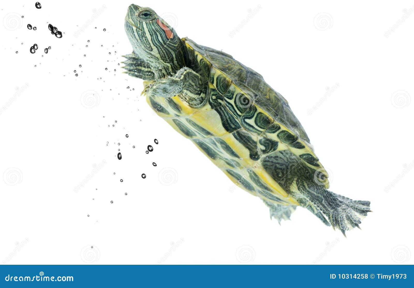 Swimming Turtle Royalty Free Stock Photos - Image: 10314258