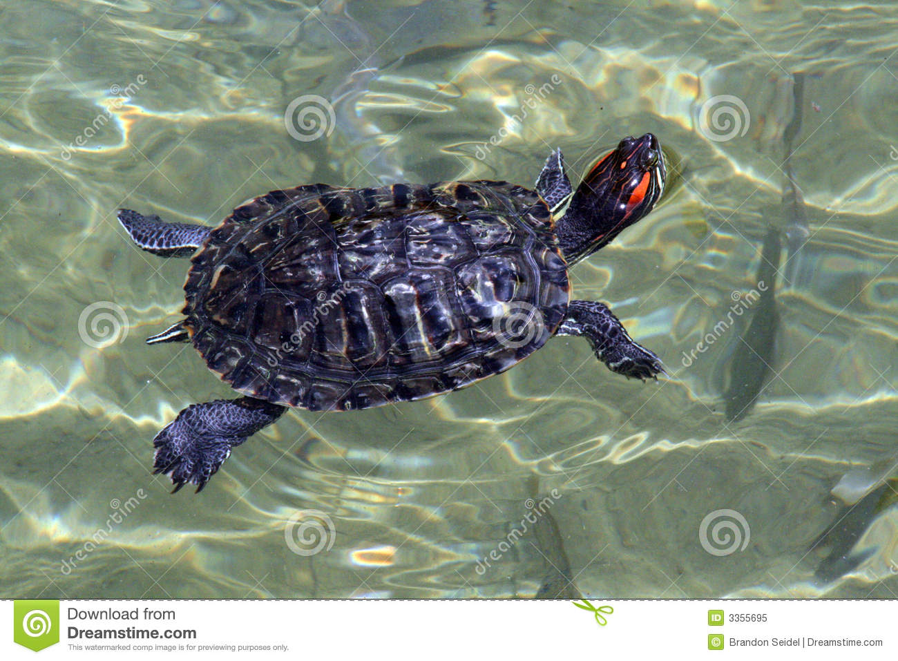 turtle swimming in a clear pond.