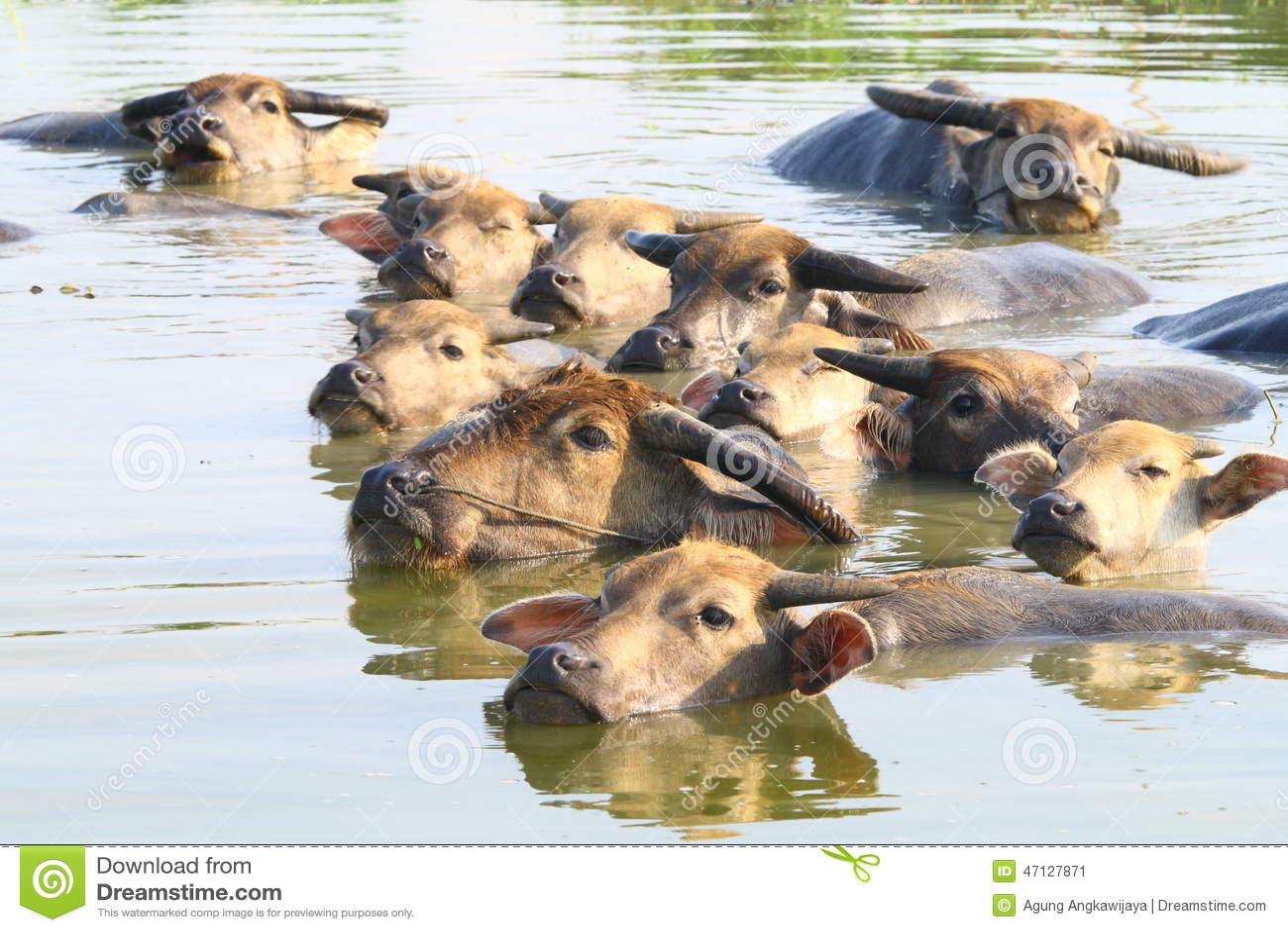 Swimming Water Buffaloes