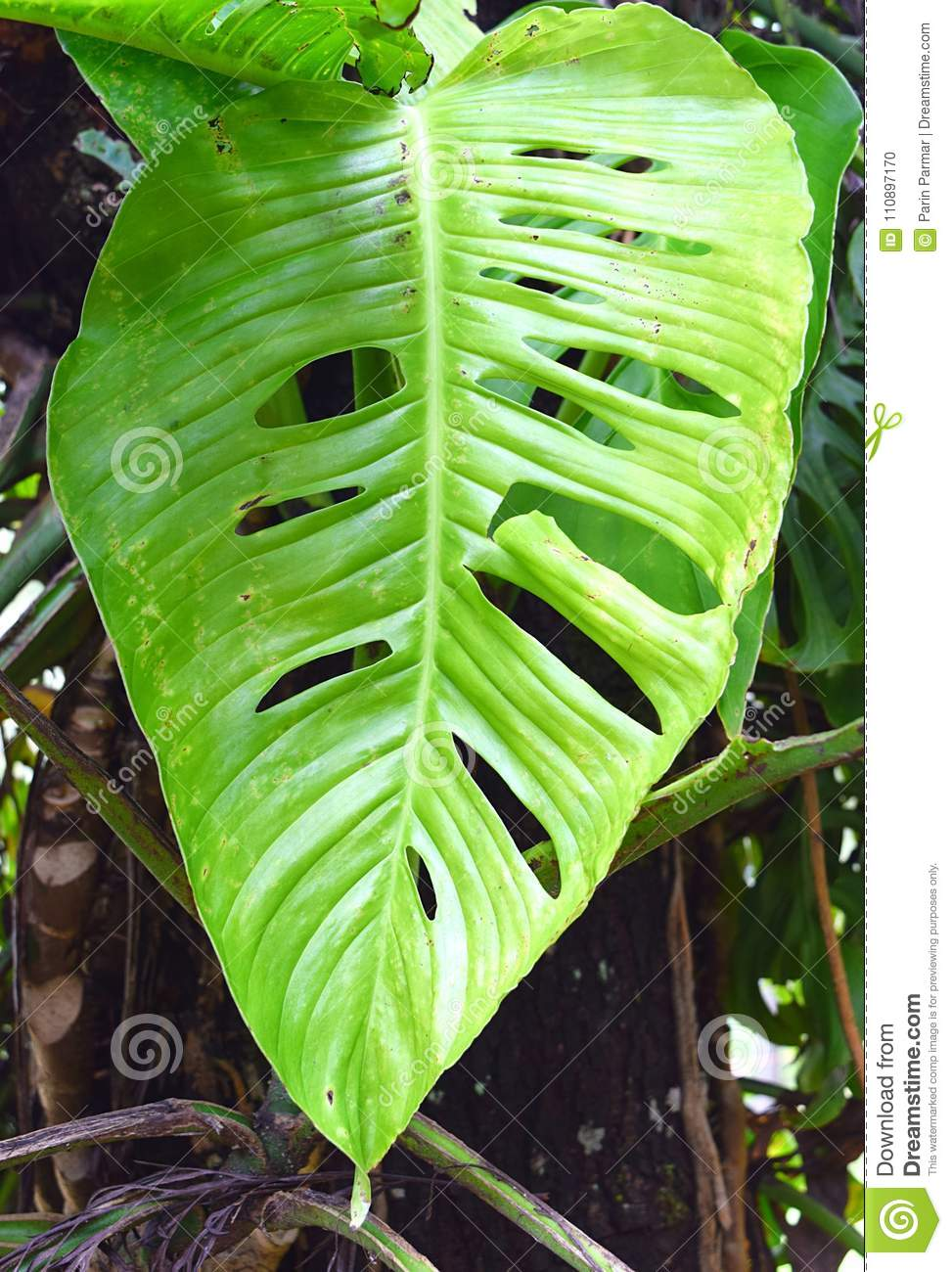 Swiss Cheese Plant - Monstera Deliciosa - Large Perforated Green
