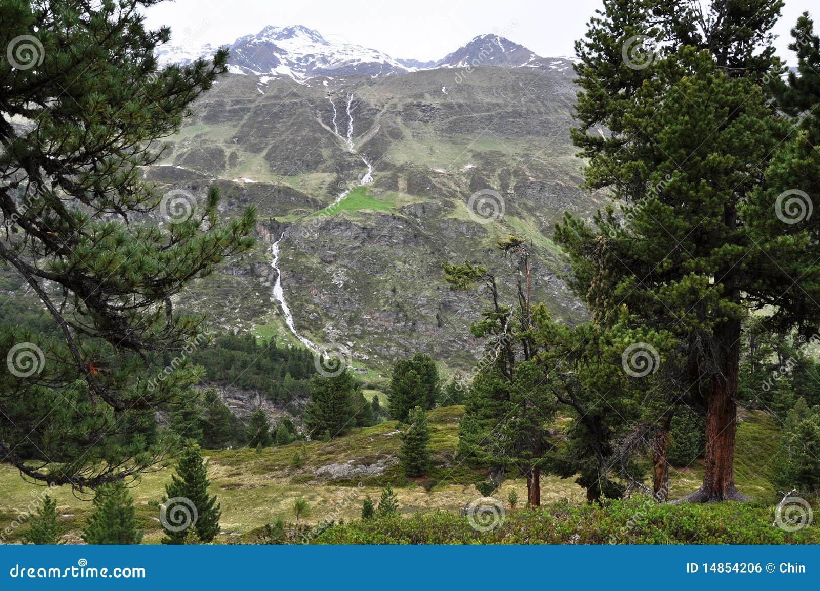 Swiss Pine forest of Obergurgl, Austria