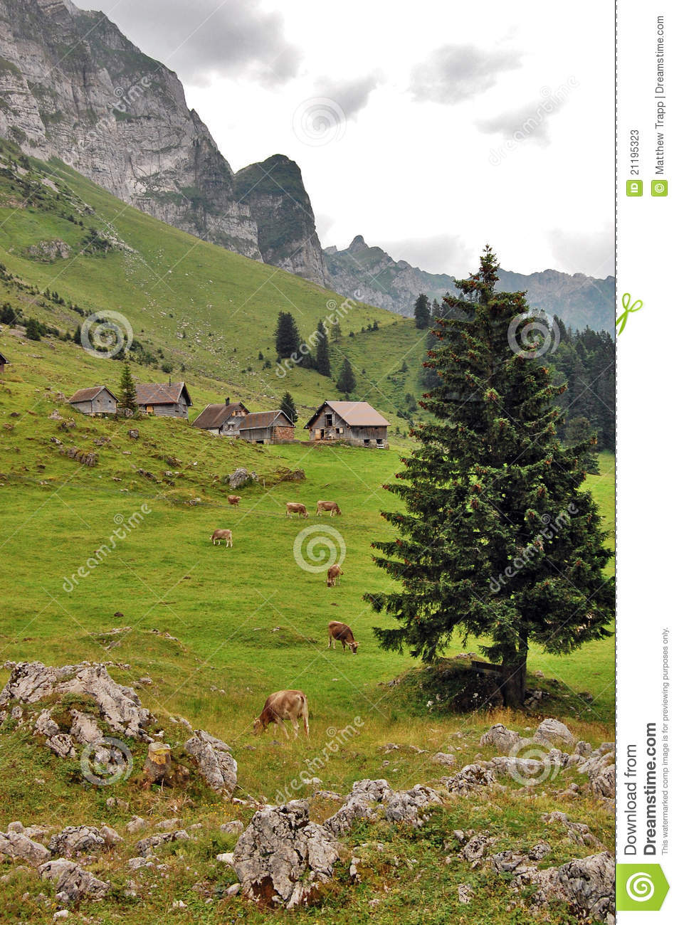 Switzerland mountain countryside with cows