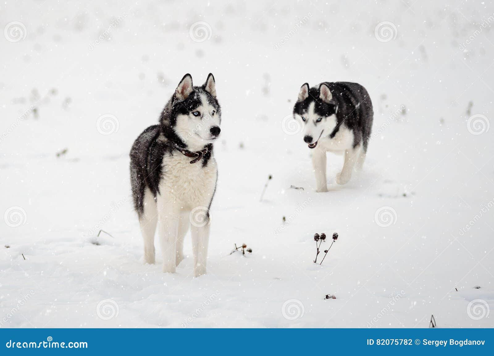 Syberyjski husky w zimie