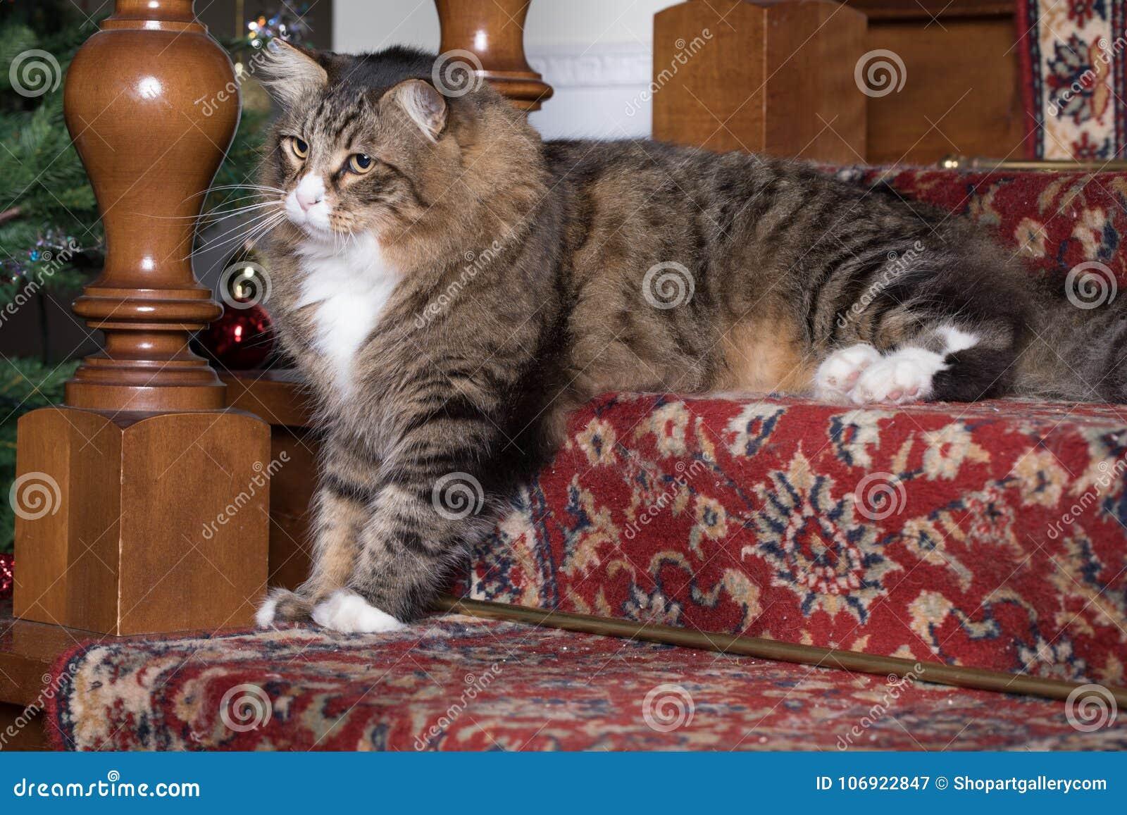 Syberyjski kot W Salowym