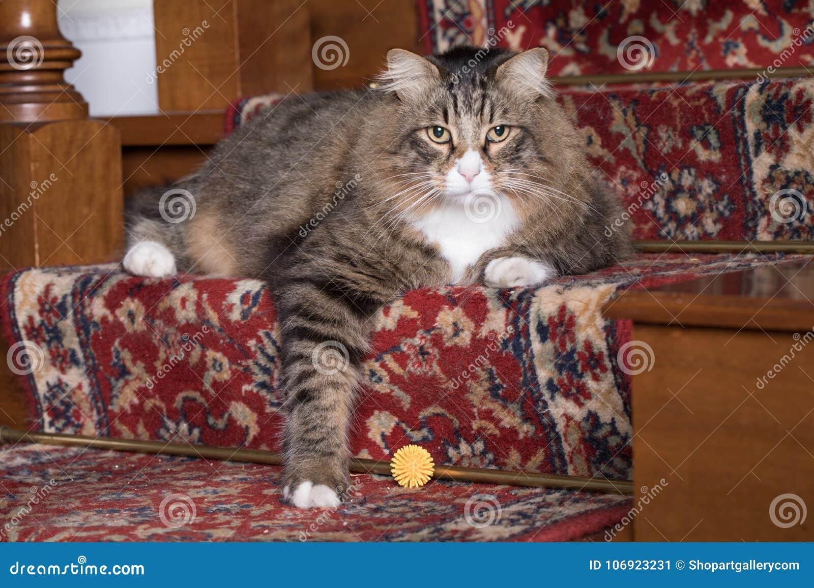 Syberyjski kota portret
