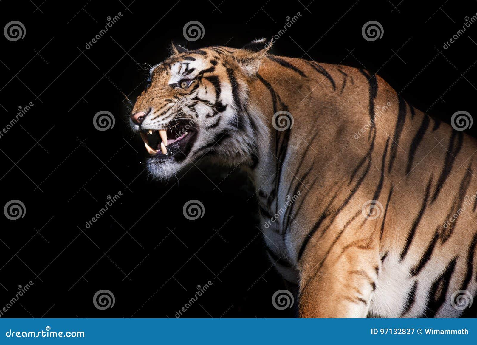 Syberyjski tygrys w akci warczenie