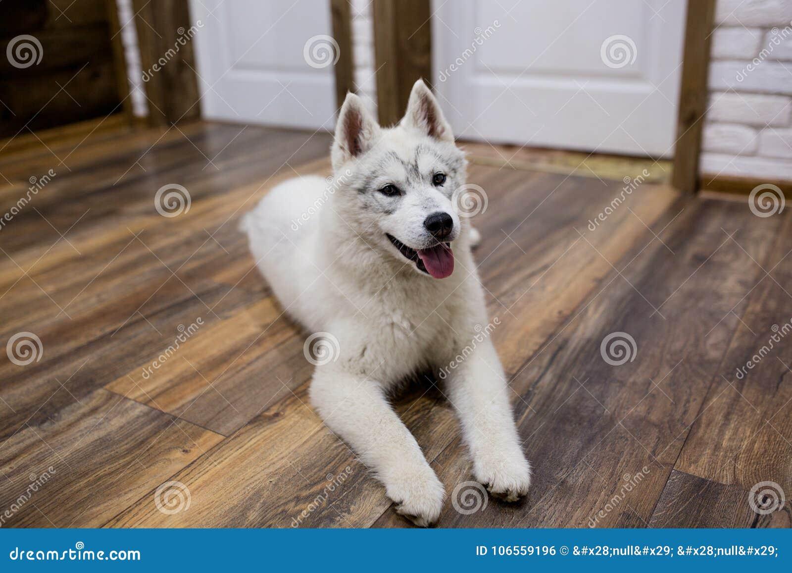 Syberyjskiego husky szczeniak kłama na podłoga w domu styl życia z psem