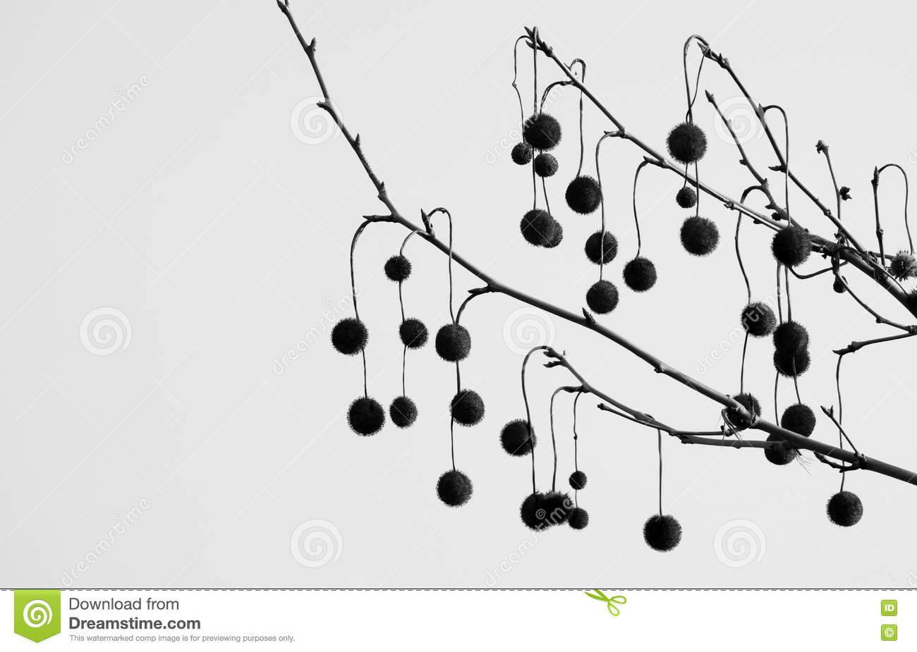 Sycamore balls stock photo  Image of hickory, plant