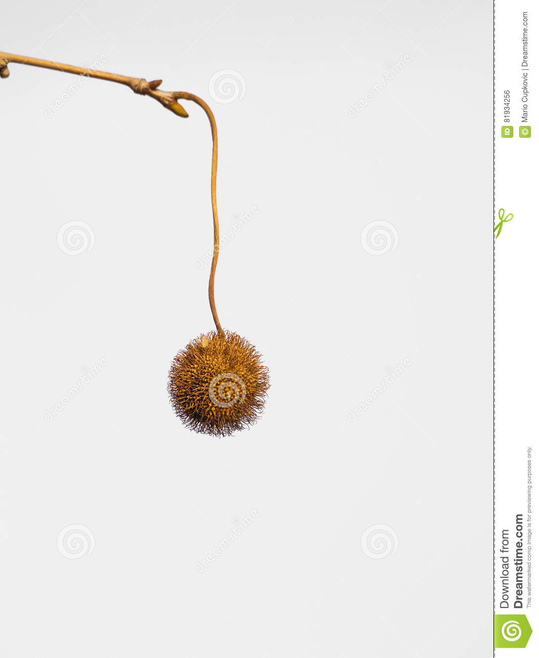 Sycamore balls stock photo  Image of fall, branch, beautiful