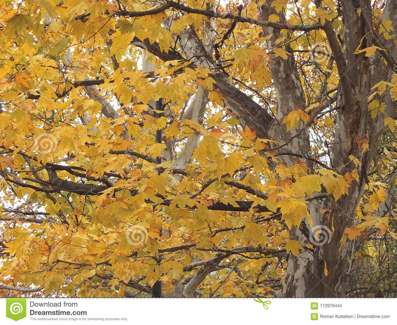Sycamore tree in fall