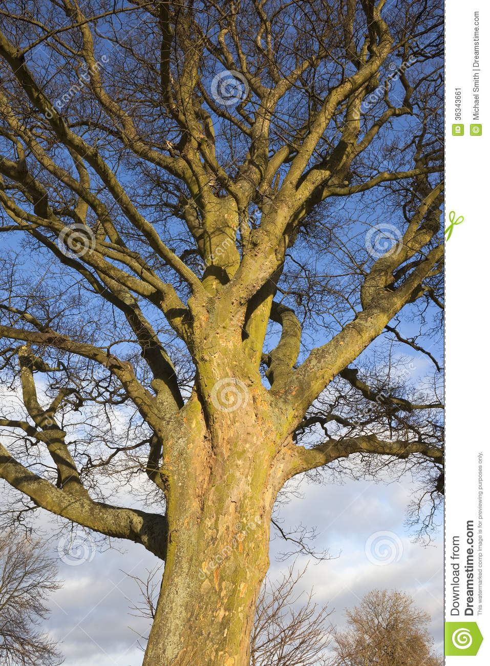 sycamore tree in winter stock image