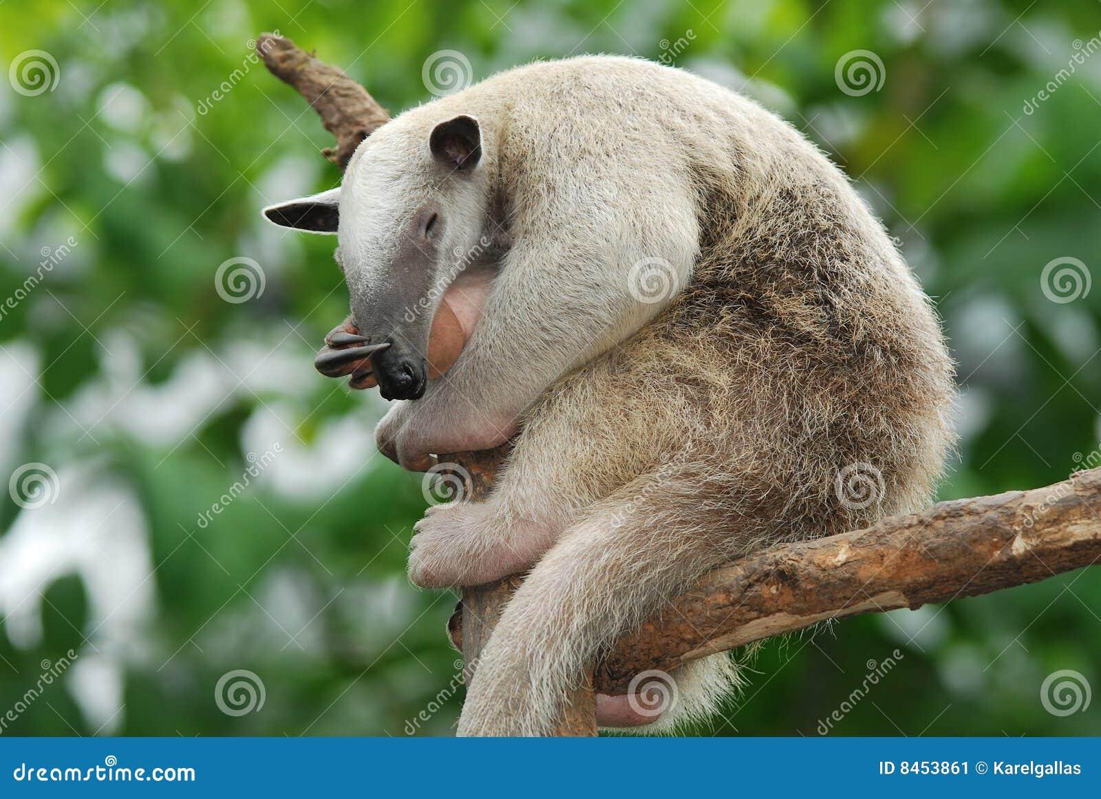 Sydlig tamandua för anteater