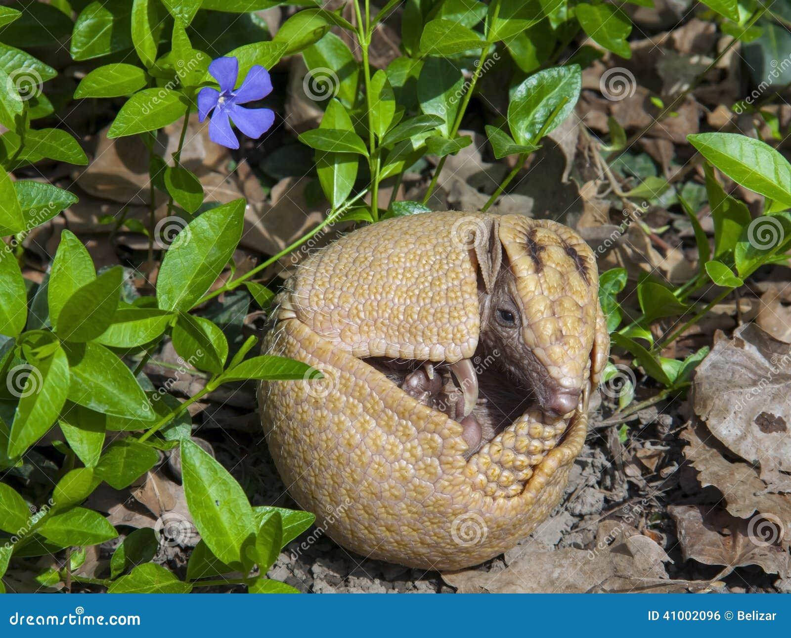 Sydlig tre-satt band bältdjur (Tolypeutesmatacusen)