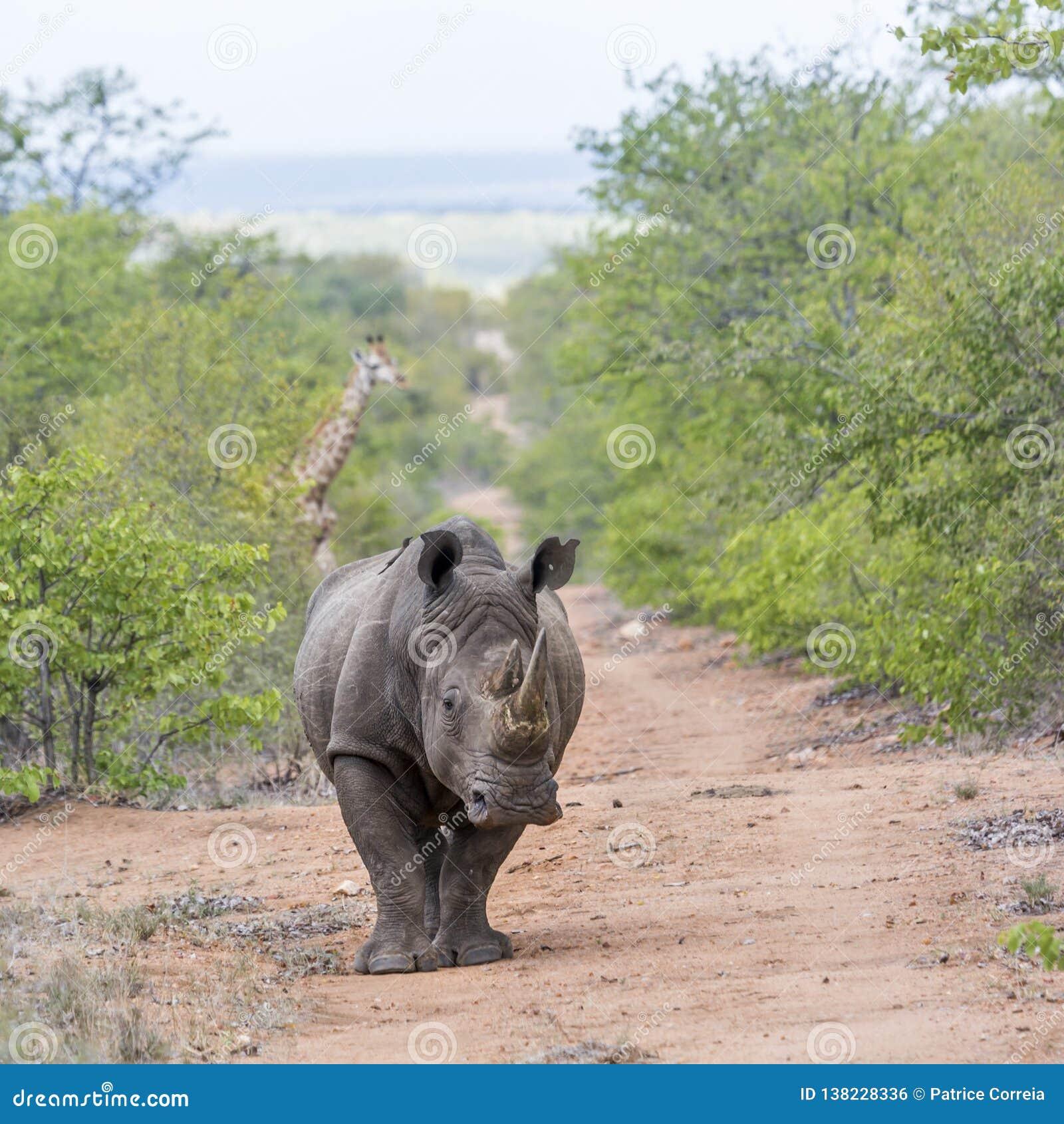 Sydlig vit noshörning och giraff i den Kruger nationalparken, Sydafrika
