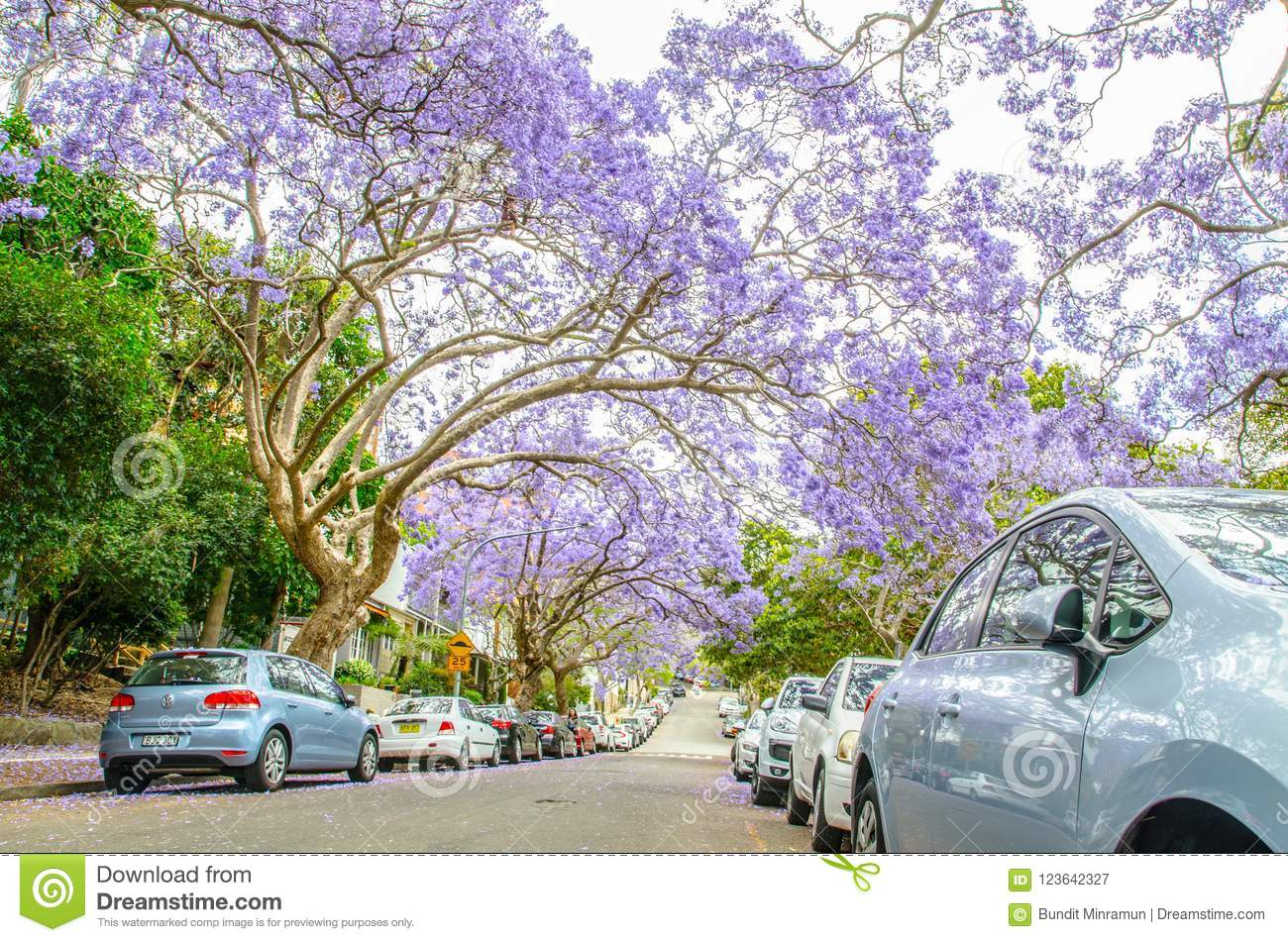Flowering Purple Flowers Jacaranda Trees In Mcdougall St Kirribilli