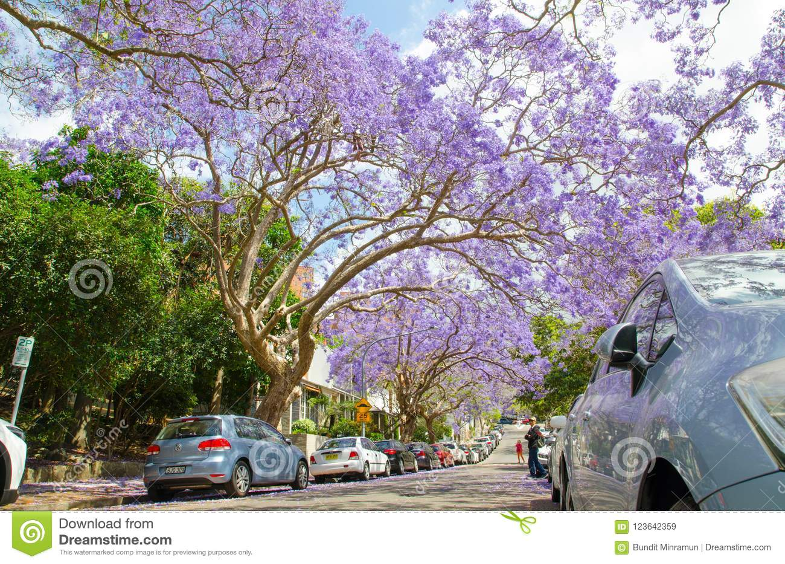 Flowering Purple Flowers Jacaranda Trees In Mcdougall St Kirribilli