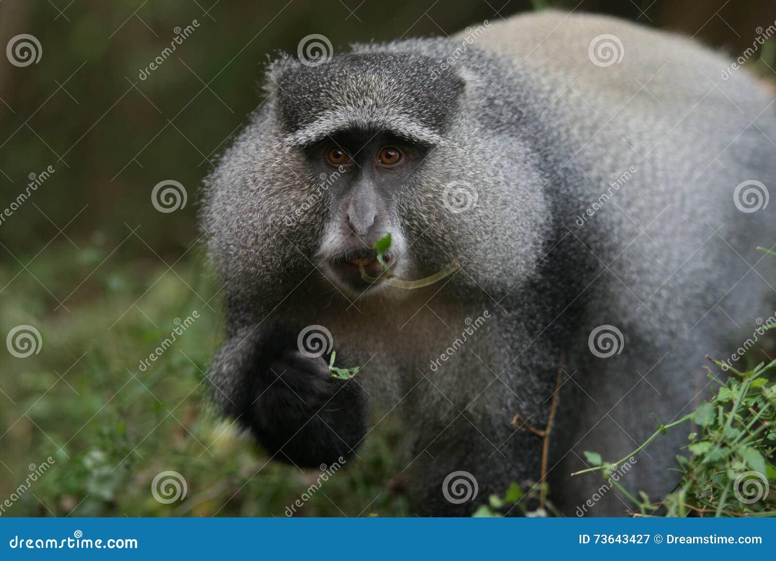 Sykes的猴子(长尾猴属albogularis)在南非