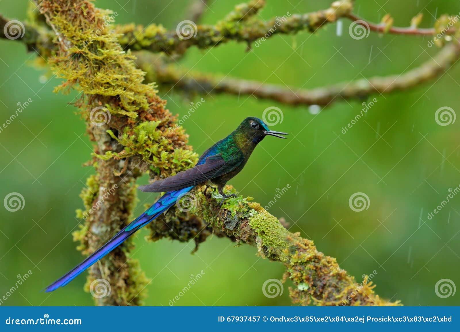 Sylphe Long-coupé la queue, colibri avec la longue queue bleue dans l habitat de nature, Pérou
