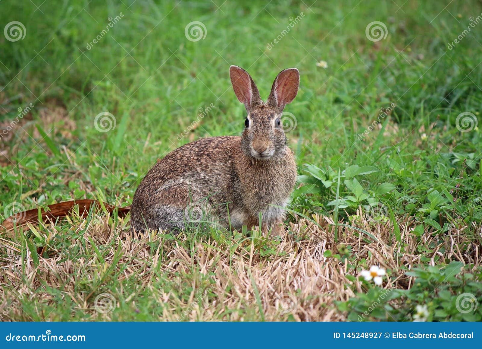Sylvilagus floridanus del conejo de conejo de rabo blanco del este