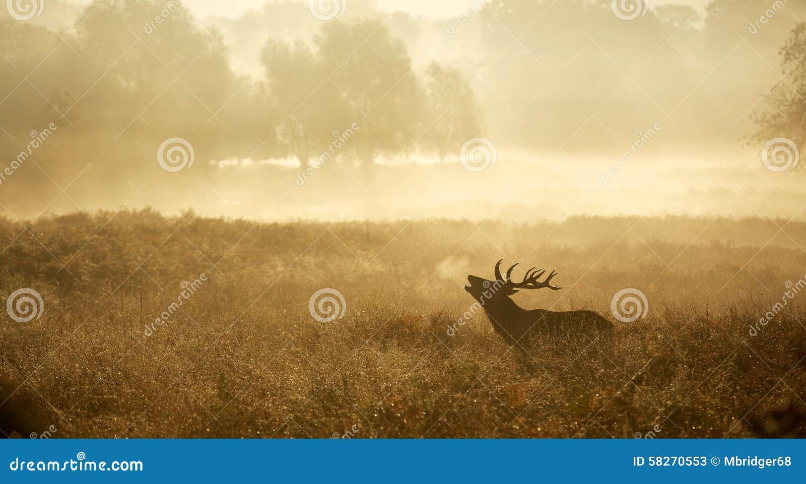 Sylwetka czerwonego rogacza jeleń