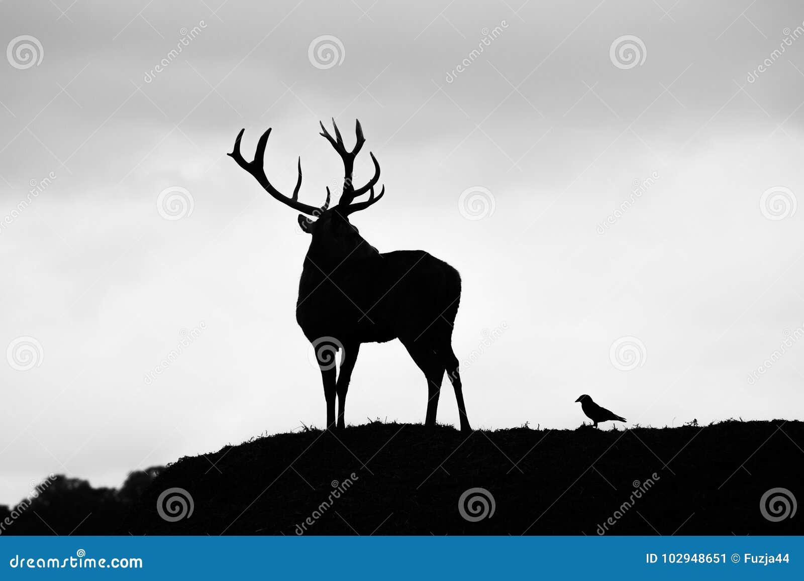 Sylwetka majestatyczny czerwonego rogacza jeleń w jesień spadku