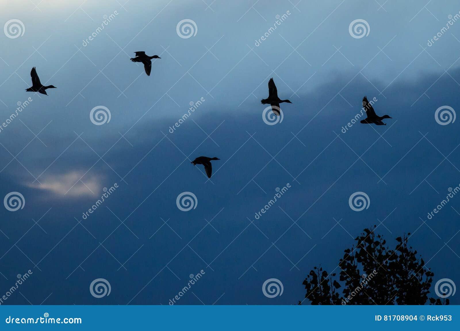Sylwetkowe kaczki Lata w zmierzchu niebie