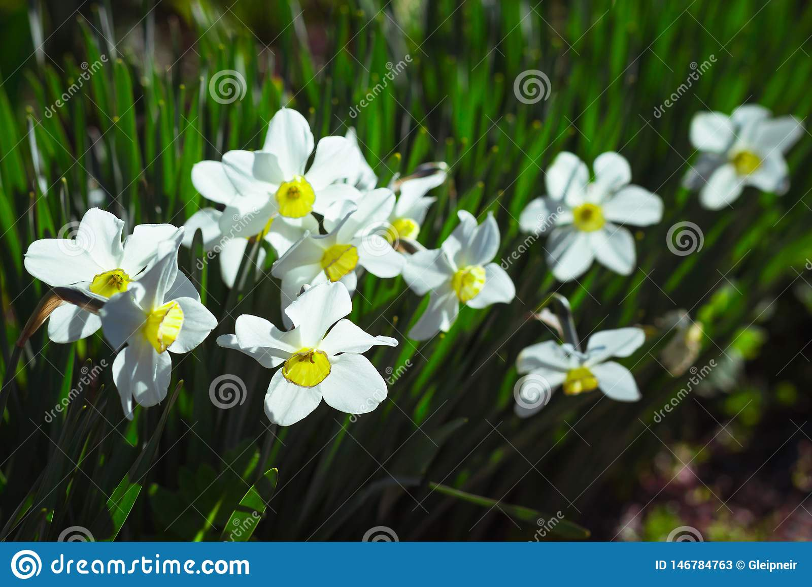 Symbol of Spring Revival and False Pride   Narcissus Flowers ...